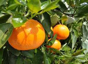 HOT PROMOTION ส้มญี่ปุ่นเซโตกะ