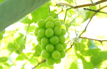 Grape (Shine Muscat)